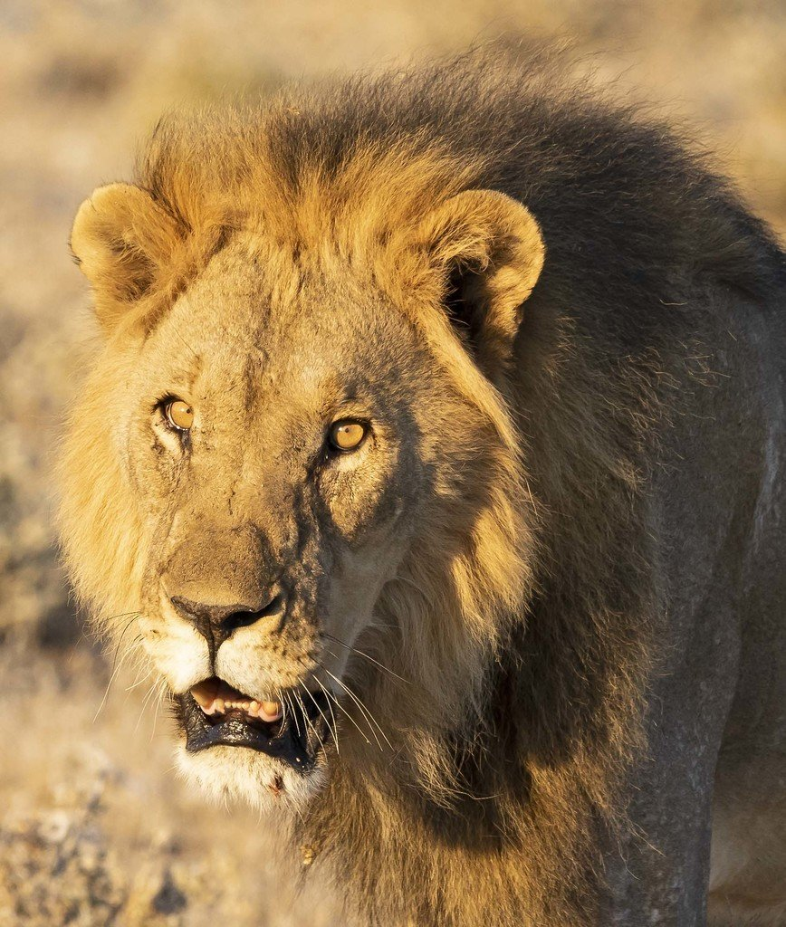 Male lion in golden light, Namibia
