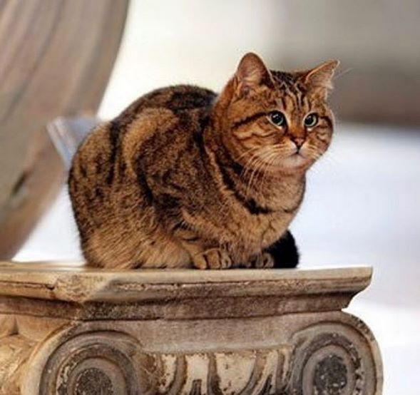 Gli-the-Hagia-Sophia-Cat-13
