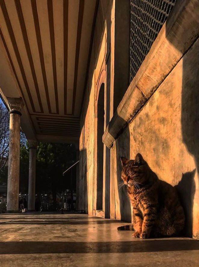Gli-the-Hagia-Sophia-Cat-15