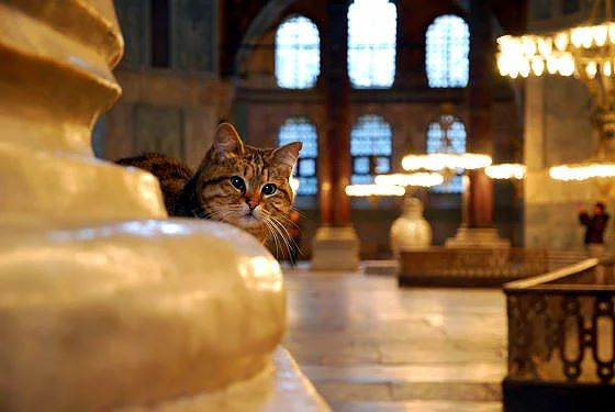 Gli-the-Hagia-Sophia-Cat-2