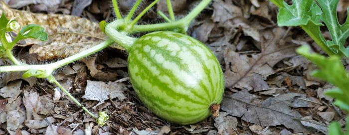 Kinds of Watermelons Grown in Turkey