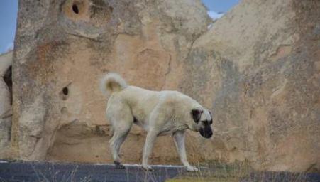 Sivas Kangal Dog in Cappadocia