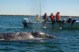 Loreto Sea and Land Tours grey whale watching baja California sur