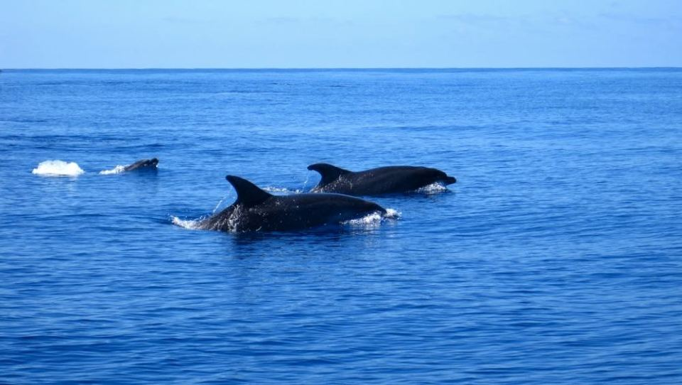 dolphins in the atlantic ocean off azores coast whale watching tour