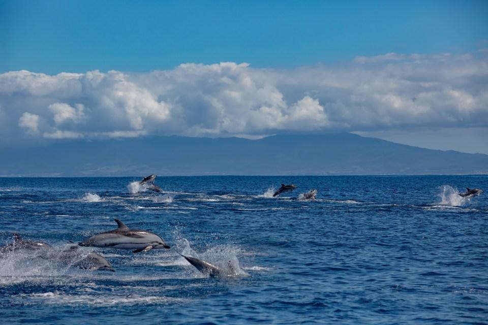 A big pod of striped dolphins Atlantic ocean near Azores islands