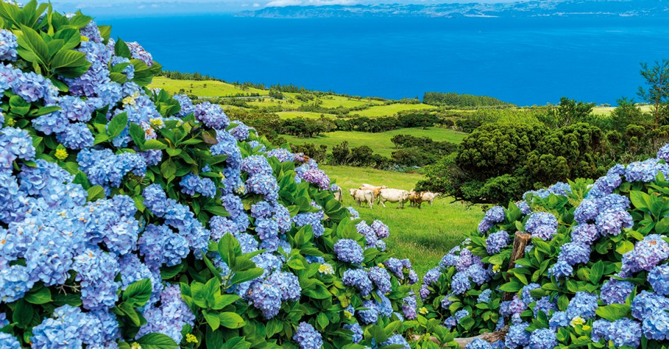 Azores Pastoral Ocean Mountain scene with cows and hydrangeas