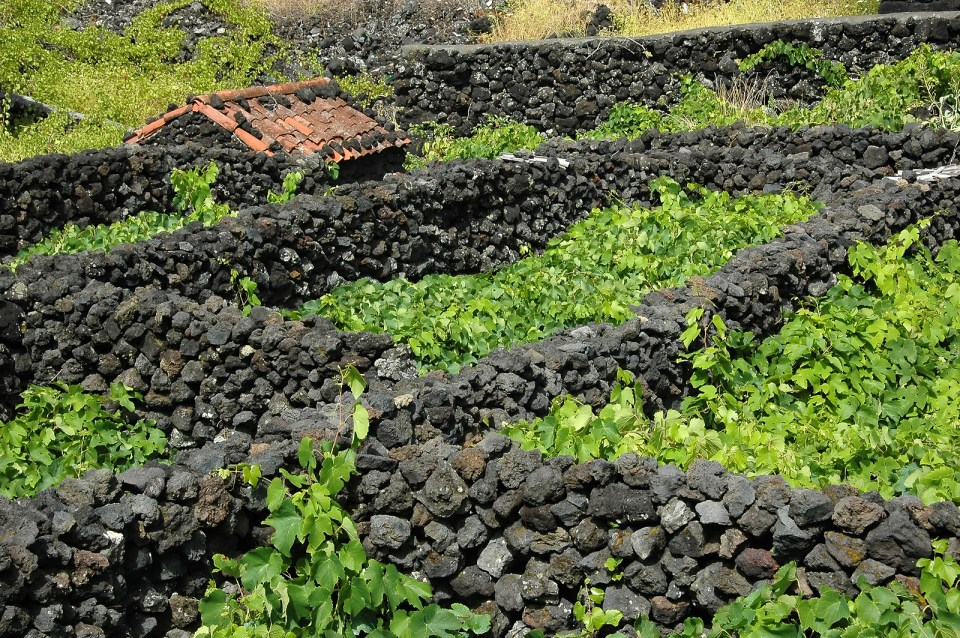 Typical Azores Vinyard on Pico Island Lava Stone Vinho Verde