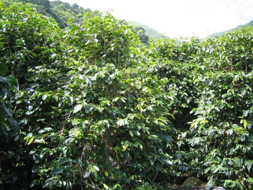 coffee plantation in the Azores Portugal