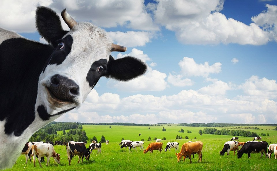 azores cows jersey cows sao miguel island pasture