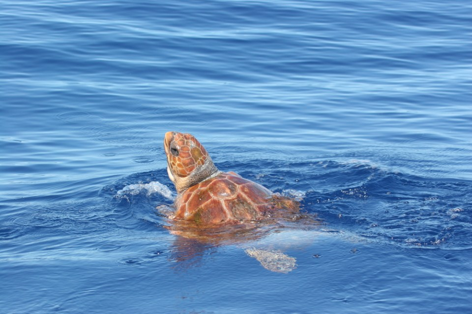 azores sea turtle whale watching tours sao miguel