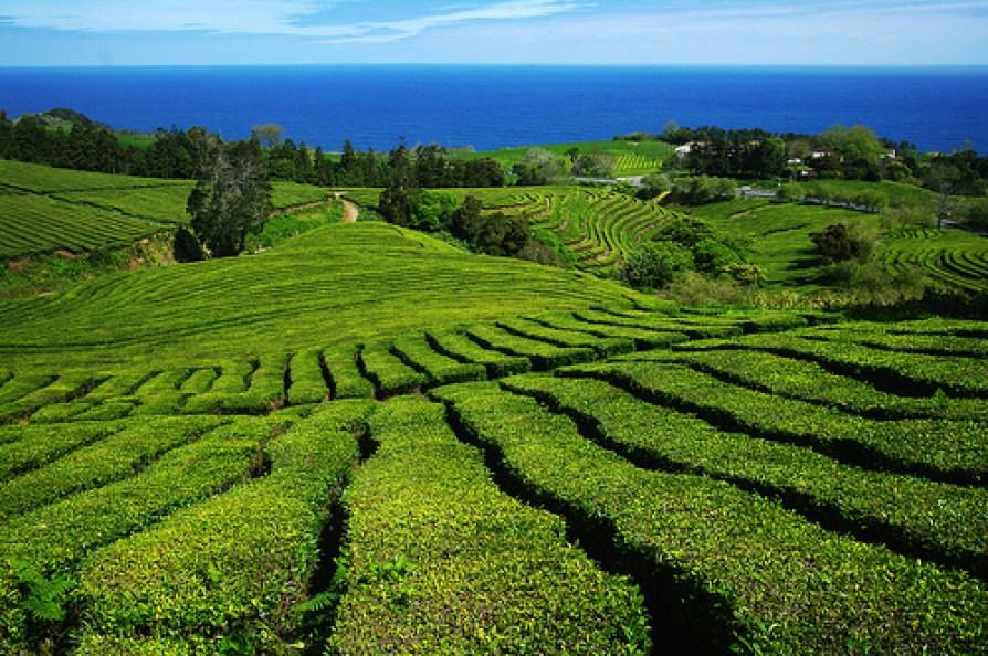 gorreana green tea trail azores