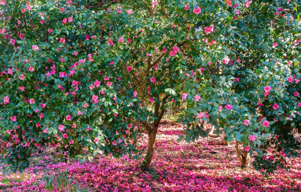 Beautiful blooming Camellia Trees full of pink blossom furnas sao miguel azores flowers