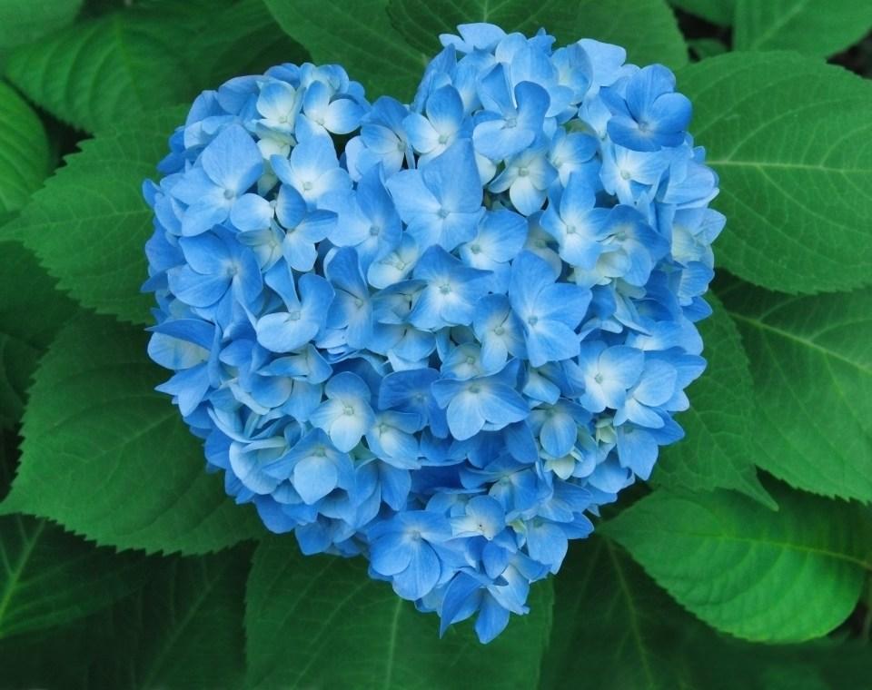 Heart-shaped Hydrangea pico island azores flower seeds