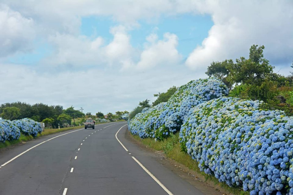Hydrangea road on faial island azores highway of flowers
