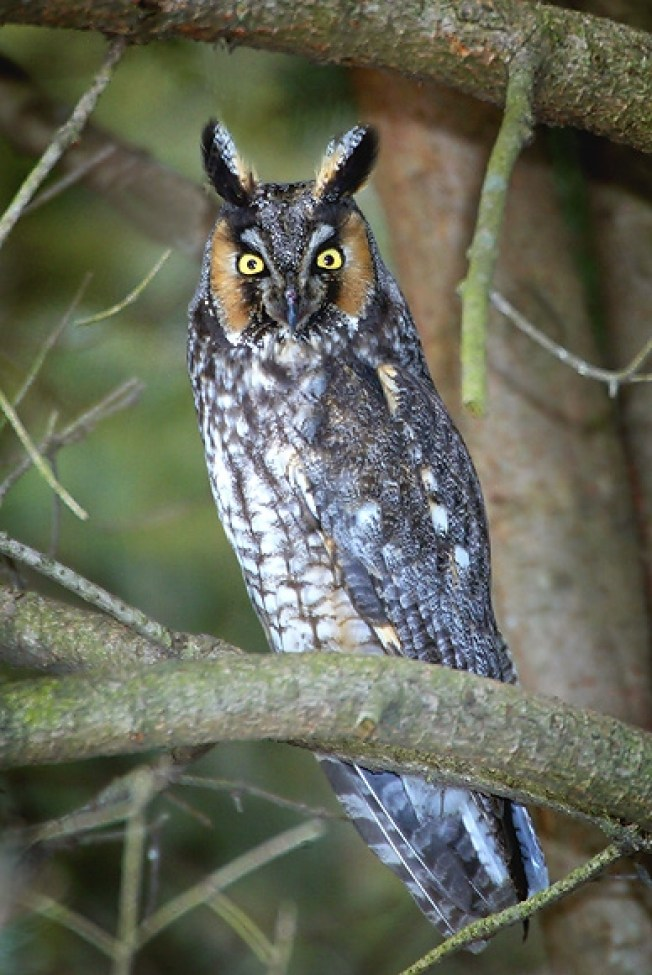 azores long ear owl atlantic islands birds