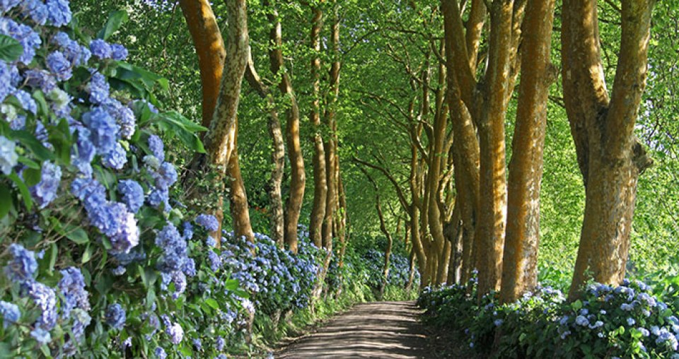 sao miguel island trees and hydrangea flower road azores