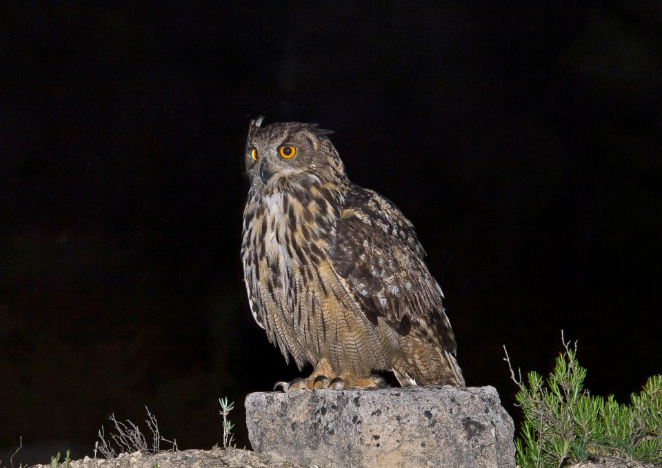 azores nature bird owl sao miguel