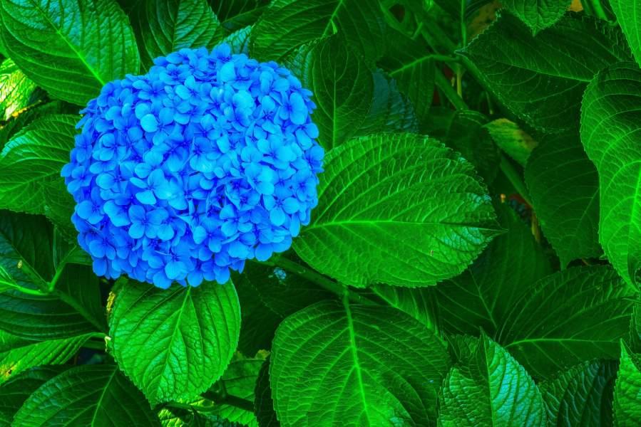 Azores Hydrangea faial island seeds portugal flowers