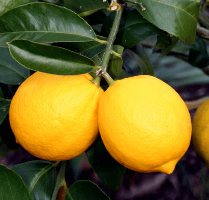 azores lemon tree portuguese fruit