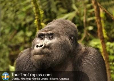 Gorilla - Nkuringo Lodge