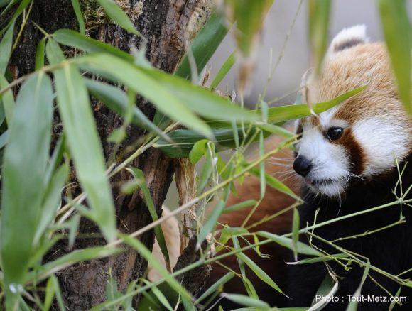 pandas-roux-rhodes-3