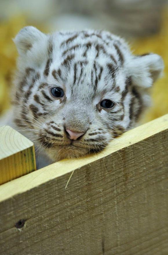 Naissance de b b s tigres blancs et rhinoc ros au zoo d 39 amn ville - Photo de tigre a imprimer ...