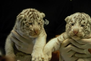 Vidéos : un rhinocéros et trois tigres blancs sont nés au zoo d'Amnéville