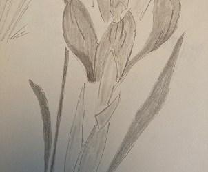 Apprendre à Dessiner une fleur de Crocus facilement.