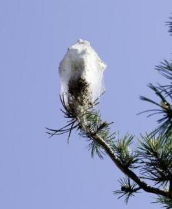 Le nid de soie est bien visible sur ce pin du parc de Budé. (Image: Christian Bonzon)