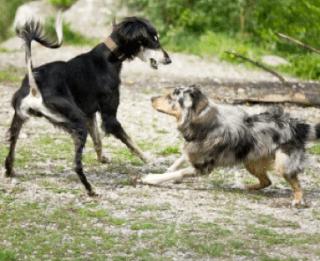 Un chien remue la queue n'est pas forcément heureux