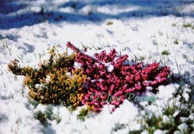sustainable gardening with blooming heather in snow