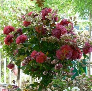rose-contest1