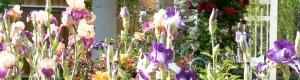 spring garden iris