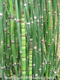 Horsetail - Equisetum