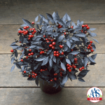 Ornamental Pepper, All-America Selection Winner