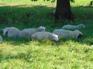 boerschapen