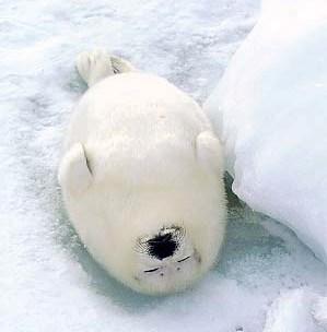 Cute Harp Seal - http://www.nilhan.com/?p=58