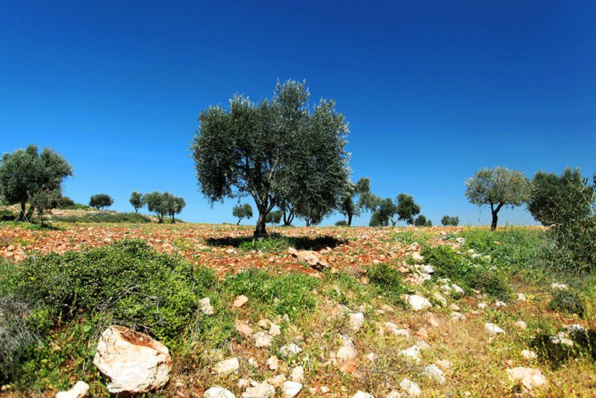 Palestine's iconic olive trees are key to the local economy. The olives from the 11 million trees across these lands support 100,000 families. LEILA MOLANA-ALLEN/AL JAZEERA