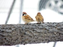 Bright Sparrows