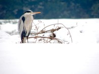 Moody Heron in the Snow