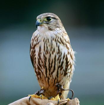falcon_pic