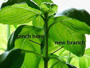 Prune Your Plants for Bigger Yields