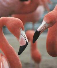 Gay_flamingos
