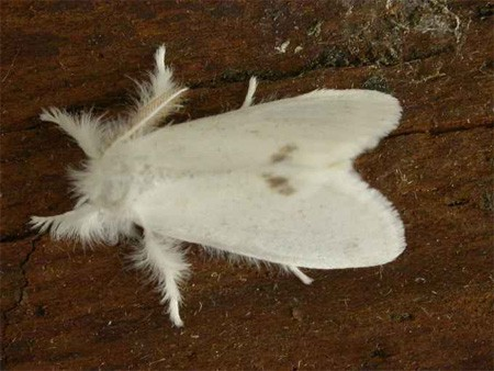 Browntailmoth