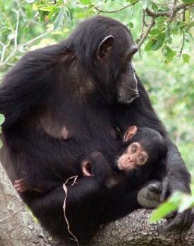 Chimpaids