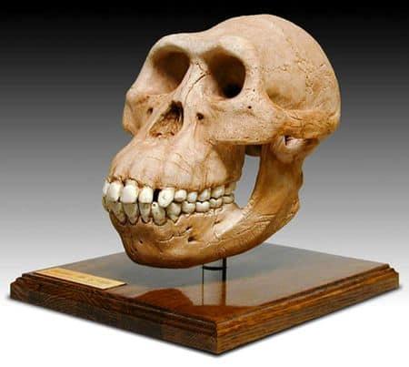 Australopithecus2