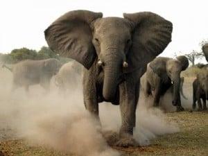 Angry-elephant-300x225