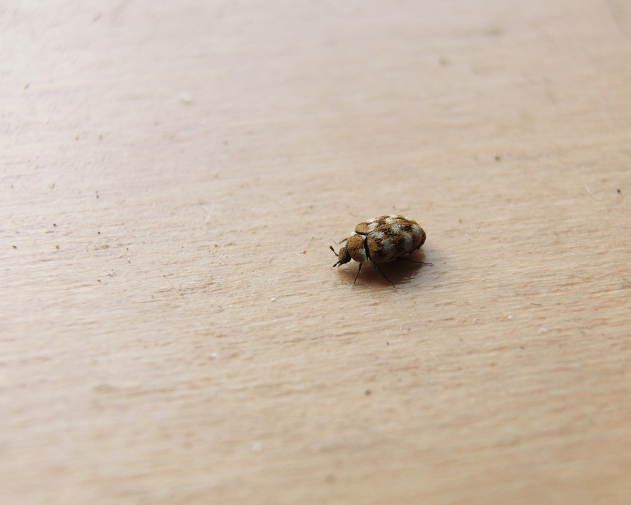carpet beetle, carpet beetles, town and country, town and country pest solutions, pest, pests, rochester, syracuse, buffalo, rochester ny, syracuse ny, buffalo ny, new york, western ny, rochester exterminators, syracuse exterminators, buffalo exterminators, bed bugs, fabry, matt fabry, extermination, hire the pros, friendly, trustworthy