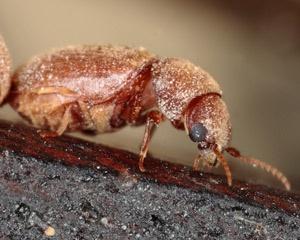 Cigarette Beetles