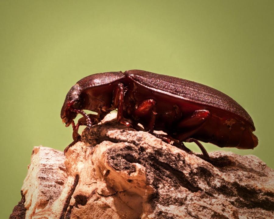 confused flour beetle, confused flour beetles, beetle, beetles, stored food pests, town and country, town and country pest solutions, pest, pests, rochester, syracuse, buffalo, rochester ny, syracuse ny, buffalo ny, new york, western ny, rochester exterminators, syracuse exterminators, buffalo exterminators, bed bugs, fabry, matt fabry, extermination, hire the pros, friendly, trustworthy